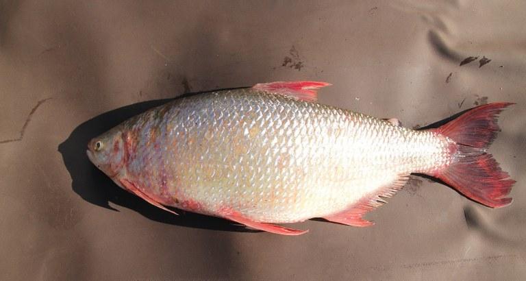 Cerro Largo: peixe ameaçado de extinção no Rio Grande do Sul é encontrado no Médio Uruguai